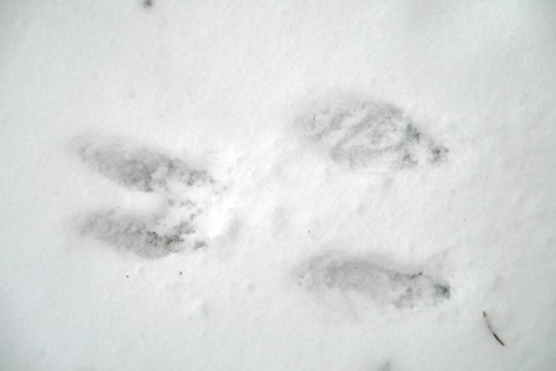 Picture of Rabbit Footprint http://www.harpercollege.edu/ls-hs/bio/dept/guide/gallery/evidence/tracks/thumb.html