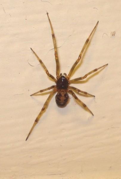 Cobweb Weaver Spider Bowl And Doily Weaver Spider